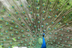A peacock Royalty Free Stock Photo