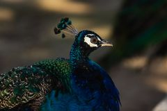 Peacock with bright colorful plumage royalty free stock image