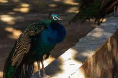 Peacock with bright colorful plumage stock photography