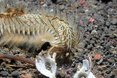 Peacock Bristle Worm Stock Image