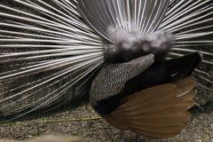 Peacock butt dance. A great Closeup shot of a peacock Butt Stock Images