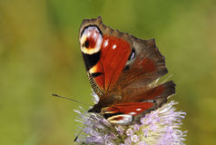 Peacock Butterfliy Stock Images
