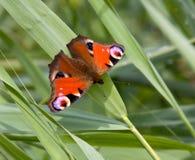 Peacock Butterfly stock photos
