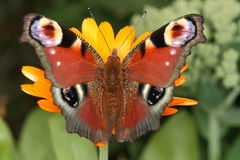 Peacock butterfly. Top view of peacock butterfly sitting on yellow blossom Stock Photography