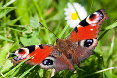 Peacock butterfly Stock Images