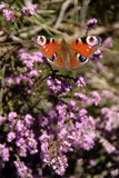 Peacock Butterfly. On heather plants stock photography