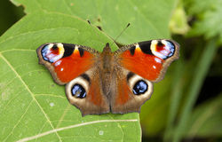 Peacock Butterfly. Recently emerged fresh Peacock butterfly Royalty Free Stock Photos