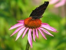 Peacock butterfly. On Rudbeckia stock photos