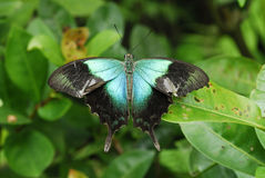 Free Peacock Butterfly Stock Photography - 1828122