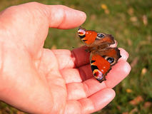 Peacock butterfly. (Inachis io) sitting on the hands Stock Photo