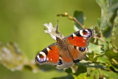 Peacock butterfly. The peacock butterfly (Inachis io) is a common butterfly from temperate parts of Europe Royalty Free Stock Photography