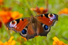Free Peacock Butterfly Royalty Free Stock Image - 21337996