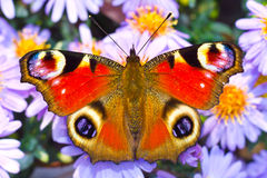 Peacock butterfly. On autumn flowers Stock Photography