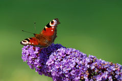 A peacock butterfly Stock Image