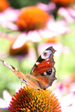 Peacock butterfly. On a purple coneflower Stock Images