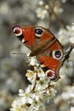Peacock Butterfly. (Inachis io) on branch in blossom Royalty Free Stock Photos