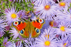 Peacock butterfly (Aglais io) Royalty Free Stock Photo