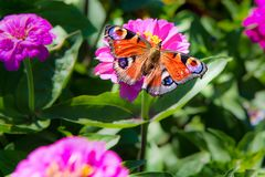 Peacock butterfly, aglais io, european peacock butterfly on pink zinnia flowers Stock Photo
