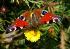 Peacock butterfly Aglais io Royalty Free Stock Photo