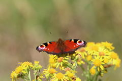 Peacock butterfly (Aglais io). This picture shows a peacock butterfly, with it's wings open, perched on the yellow flowers of common ragwort. The picture was Stock Image