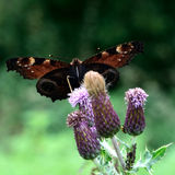 Peacock butterfly (Aglais io) on thistle from below Stock Image