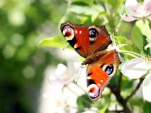 Peacock butterfly and apple flowers Stock Photography