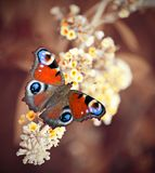 Peacock butterfly. Beautiful peacock butterfly sitting on the flower Stock Photography