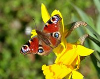 Beautiful peacock butterfly on a blooming daffodil royalty free stock photo