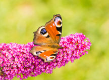 Peacock butterfly on a buddleia bush Royalty Free Stock Photography