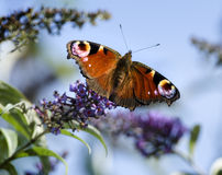 Peacock butterfly on Buddleia Bush Royalty Free Stock Image
