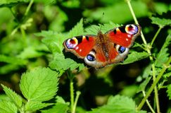 Peacock Butterfly, Butterfly Royalty Free Stock Photography