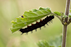 Peacock Butterfly caterpillar. On Nettle foodplant Royalty Free Stock Image