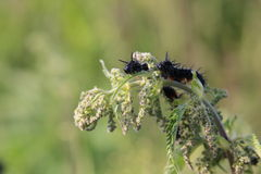 Peacock Butterfly Caterpillars On Stinging Nettle Royalty Free Stock Photos