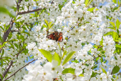 Peacock butterfly on cherry blossom against blue sky. White cher Stock Image