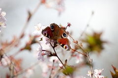 Peacock butterfly in cherry blossom Stock Photos
