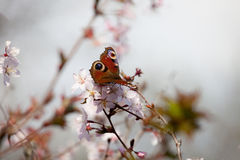 Peacock butterfly in cherry blossom Royalty Free Stock Photography