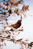 Peacock butterfly in cherry blossom Royalty Free Stock Photo
