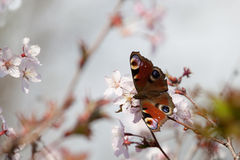 Peacock butterfly in cherry blossom Stock Photo