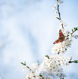 Peacock butterfly on cherry blossoms Stock Photos