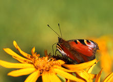Peacock butterfly in colorful autumn flower Stock Photo