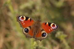 Peacock butterfly detail royalty free stock photography