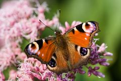 Peacock butterfly drinking from Gravel root Stock Photography