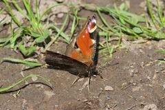 Peacock Butterfly in the early spring sun. Stock Image