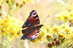 Peacock Butterfly. The European Peacock butterfly on flower Royalty Free Stock Photos