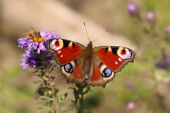 Peacock butterfly Royalty Free Stock Photo