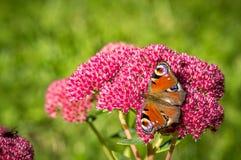 Peacock butterfly feeding on nectar Stock Photos