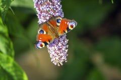 Free Peacock Butterfly Feeding On Purple Buddleia Stock Photos - 154297173