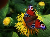 Peacock butterfly feeding on a yellow flower Stock Image