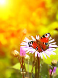 Peacock butterfly on flower Royalty Free Stock Image