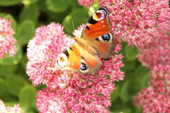 Peacock butterfly on a flower stock photo